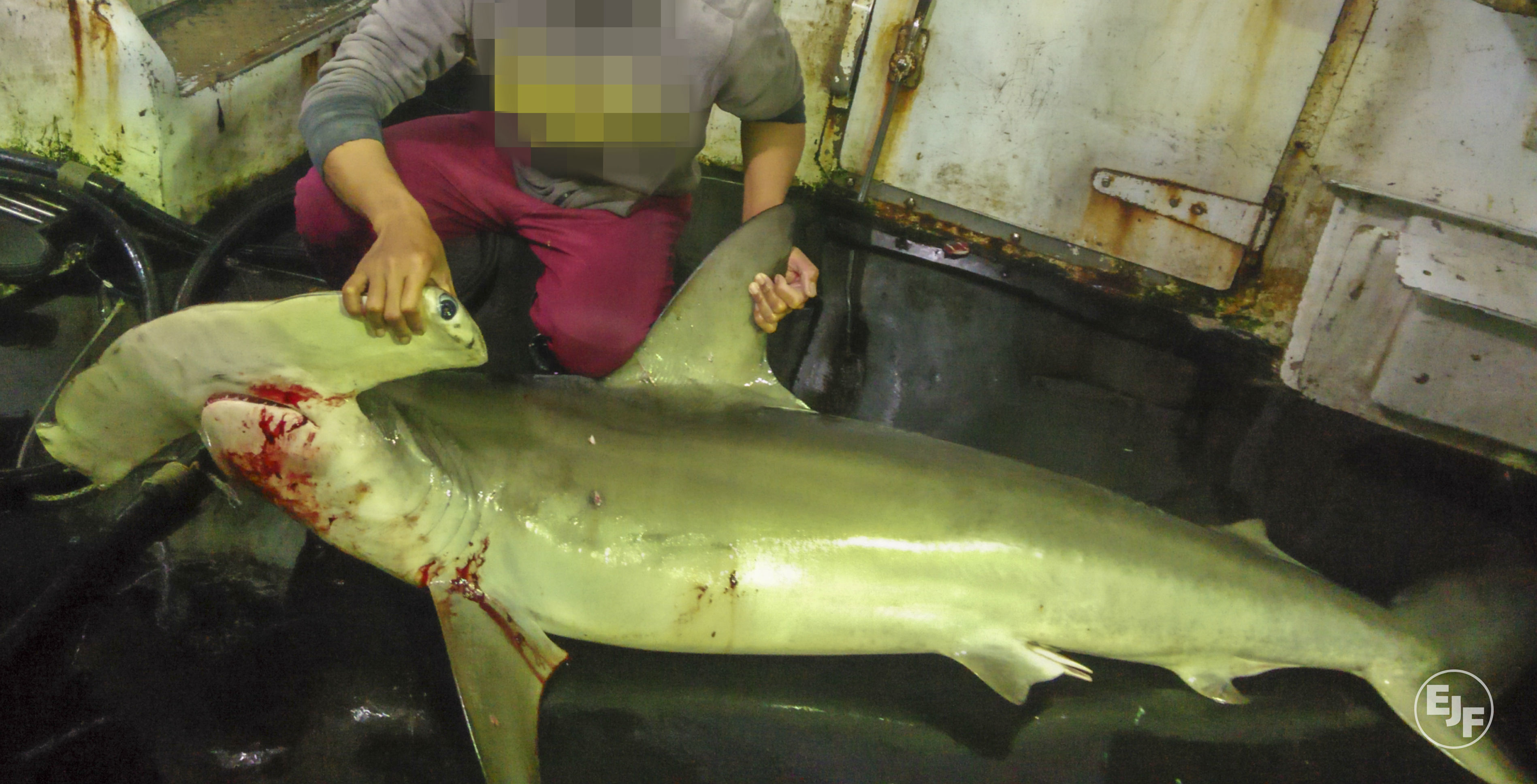 EJF uncovers illegal shark finning and killing of dolphins and turtles in Taiwan's tuna export industry